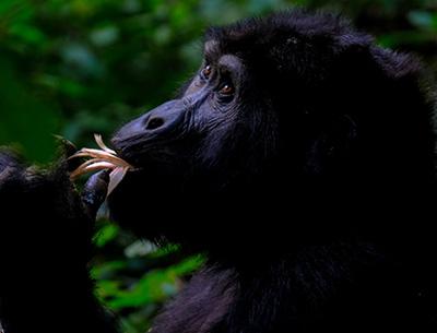 Gorilla at Bwindi