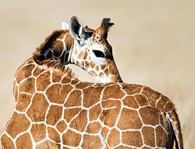 Giraffe at Lake Naivasha