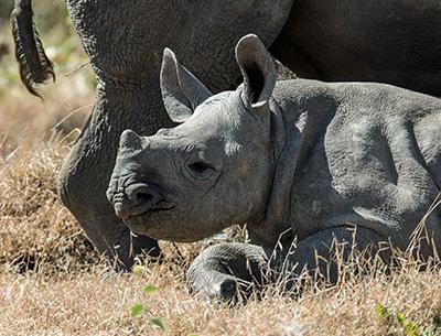 Rhino at Ol Pejeta