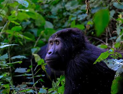Gorilla at Kisoro