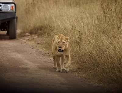 Lion at Serengeti