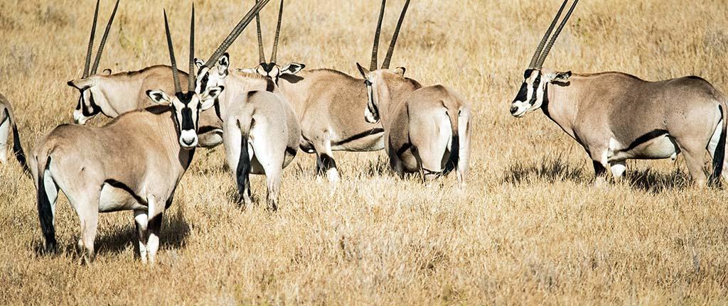 Herds of Beisa Oryx at Samburu