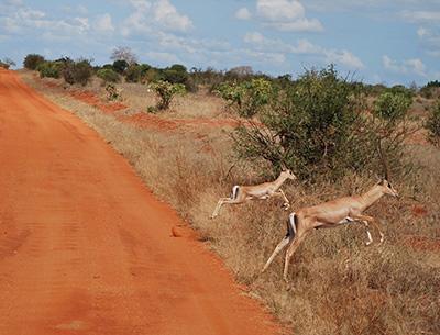 Antelope at Taita Hills
