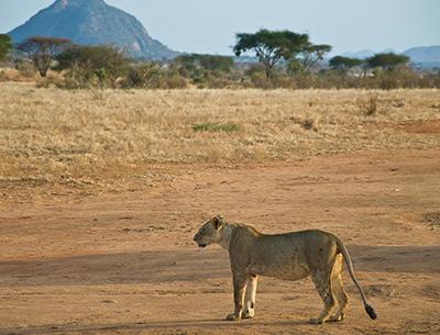 Lion at Meru National Park