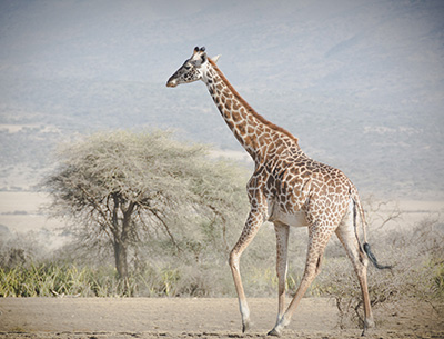 Giraffe at Ruaha
