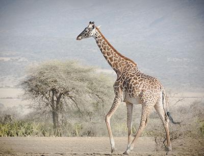 Giraffe at Ruaha