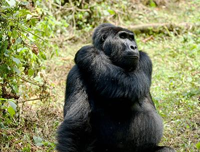 Classic Gorilla Safari