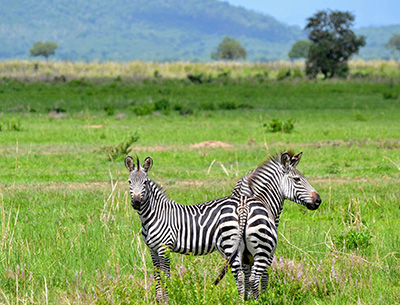 Zebras at Mikumi National Park