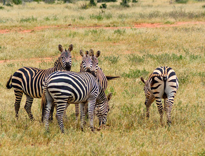 Zebras at Meru