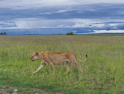 Lion at Amboseli