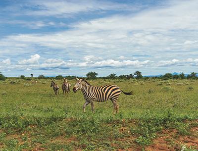 Zebras at Amboseli