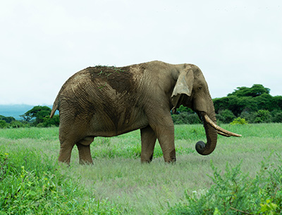 Bull Elephant at Amboseli