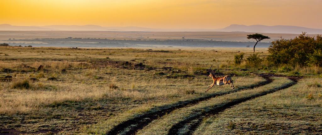 Antelope, at Amboseli