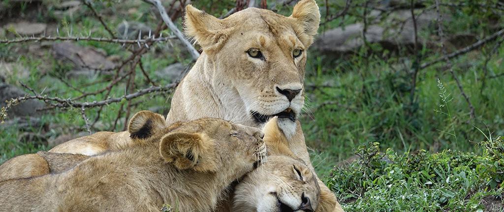 Herds of Lion at Masai Mara