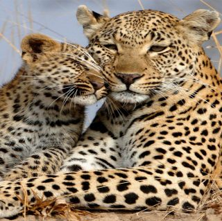 Leopard & her cub at the plains of mara