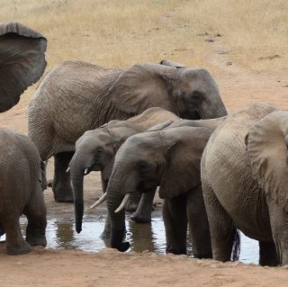 Perfect Wildlife view of Elephant drinking water from a pond